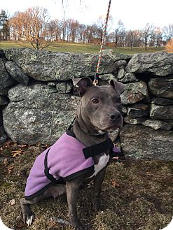 American Pit Bull Terrier Mix Dog for adoption in Sterling, Massachusetts - ZIVA