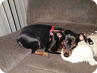 Miniature Pinscher Mix Dog for adoption in Puyallup, Washington - Mystie