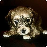 Adopt A Pet :: Sheamus - Northeast, OH