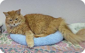 Norwegian Forest Cat Cat for adoption in St. Petersburg, Florida - Sir Arthur