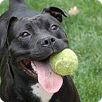Adopt A Pet :: Sasha (courtesy post) - Hillsborough, NJ