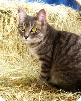 Domestic Shorthair Kitten for adoption in Williston, Florida - Gracie