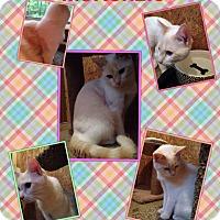 Adopt A Pet :: MacKenzie flamepoint - McDonough, GA