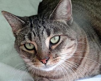 Domestic Shorthair Cat for adoption in Palm City, Florida - Helena