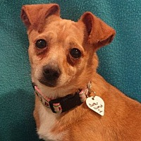 Chihuahua/Terrier (Unknown Type, Medium) Mix Dog for adoption in Vacaville, California - Butterscotch 2