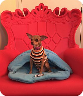 Chihuahua Mix Dog for adoption in San Francisco, California - Sunny