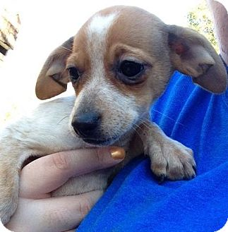 Beagle Mix Puppy for adoption in Danbury, Connecticut - Pansy