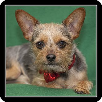 Yorkie, Yorkshire Terrier Mix Dog for adoption in San Diego, California - Boomer