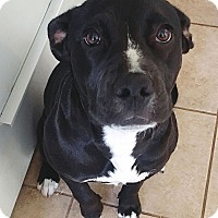 Adopt A Pet :: Layla - Marina del Rey, CA