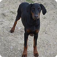 Adopt A Pet :: Cody - Westport, CT