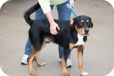 Bernese Mountain Dog/Rottweiler Mix Dog for adoption in Allentown, Pennsylvania - Max-