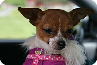 Chihuahua Mix Puppy for adoption in Avon, New York - Scrappy