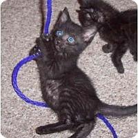 Adopt A Pet :: Stripes - Davis, CA