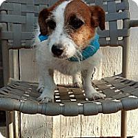 Adopt A Pet :: Amina in Houston - Houston, TX