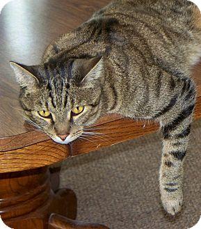 Bengal Cat for adoption in Vista, California - Riley