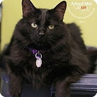 Adopt A Pet :: Boo - declawed - Westminster, CO