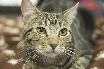 Domestic Shorthair Cat for adoption in Great Falls, Montana - Shadow