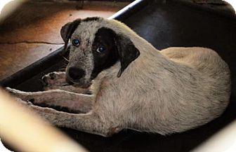 Australian Cattle Dog Mix Dog for adoption in Waldron, Arkansas - Tessa