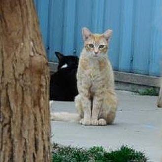 Domestic Shorthair Cat for adoption in Morgan Hill, California - Simba