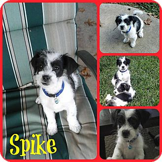 Shih Tzu/Terrier (Unknown Type, Small) Mix Puppy for adoption in Ft Worth, Texas - Spike