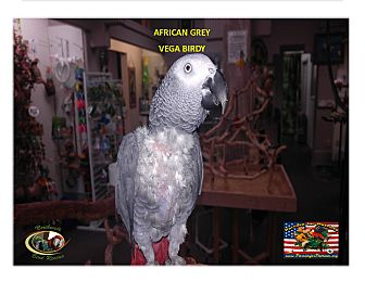 "African Grey for adoption in Vancouver, Washington - African Grey ""Vega Birdy"""