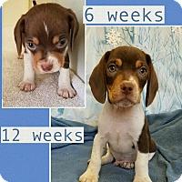 Adopt A Pet :: Gabe-pending adoption - Manchester, CT