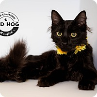 Adopt A Pet :: Onyx - Brockton, MA