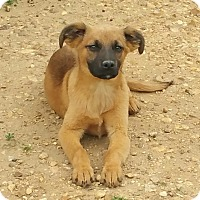 Adopt A Pet :: Shiva - Salem, NH