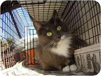 Domestic Mediumhair Cat for adoption in Los Angeles, California - Smokey