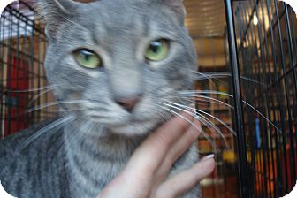 American Shorthair Cat for adoption in Brooklyn, New York - Duke