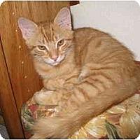 Adopt A Pet :: Big Red - Mesa, AZ