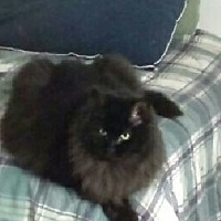Domestic Longhair Cat for adoption in MARENGO, Illinois - Saki