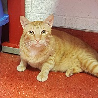 Adopt A Pet :: Gino - yuba city, CA
