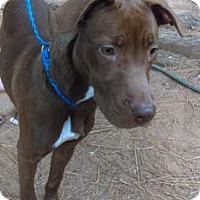 Adopt A Pet :: taz - North Brunswick, NJ