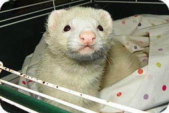 Ferret for adoption in Lowell, Massachusetts - Exodia