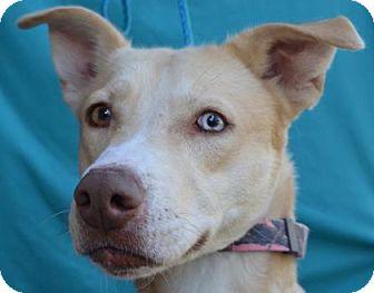 Labrador Retriever/Siberian Husky Mix Dog for adoption in Visalia, California - Gingy
