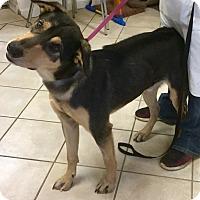 Adopt A Pet :: Prancer - Phoenix, AZ
