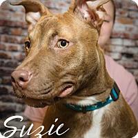 Pit Bull Terrier/Labrador Retriever Mix Puppy for adoption in Newport, Kentucky - Suzie