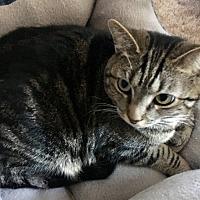 Adopt A Pet :: Tabby-Ann - Stevensville, MD