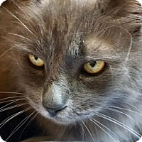 Adopt A Pet :: Ash J. Williams **Declawed Front - Glendale, AZ