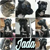 Adopt A Pet :: Jada Marie - Trenton, NJ