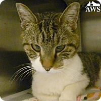 Domestic Shorthair Cat for adoption in West Kennebunk, Maine - Izzy
