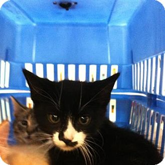 Domestic Shorthair Kitten for adoption in Pittstown, New Jersey - Toby