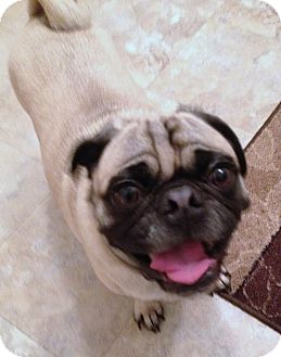 Pug Dog for adoption in North Olmsted, Ohio - Donut-Courtesy Post