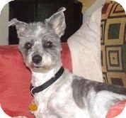 Lhasa Apso Mix Dog for adoption in Brattleboro, Vermont - Sarah Rose(in new england)