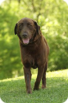 Labrador Retriever/Chesapeake Bay Retriever Mix Dog for adoption in Plainfield, Connecticut - Bull E. Dozer