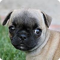 Adopt A Pet :: Pickles - La Habra Heights, CA