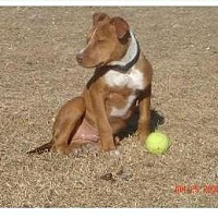 Pit Bull Terrier Dog for adoption in McKinney, Texas - Tanner