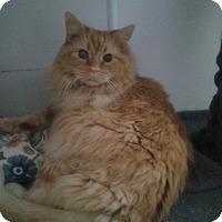 Adopt A Pet :: Long Hair Orange - Chesterfield, VA