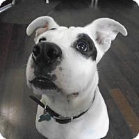 Adopt A Pet :: Curious Ralph - Issaquah, WA